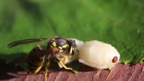 Varroa mite, larva and drone wasp. Varroa mite is the larva of the drone. The wasp larva eats stock video