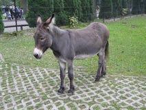 VARSOVIA, POLONIA - burro [asinus del Equus] en el PARQUE ZOOLÓGICO de Varsovia fotografía de archivo