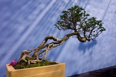 Vary Old Bonsai Tree Leaning far out of Pot. A professionally shaped bonsai tree with twisted roots in a dramatic lighting on display at a competition in Royalty Free Stock Photo