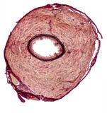 Vas deferens of a rat. Microscopic cross section showing the vas deferens of a rat Royalty Free Stock Photo