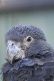 Vasa papegaai Royalty-vrije Stock Foto's