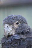Vasa papuga Zdjęcia Royalty Free