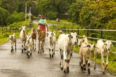 Vasai,Maharashtra, INDIA - September 22, 2018 : An unidentified Indian woman leads her goats to the pasture on September 22, 2018 royalty free stock photo
