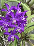 Vascostylis Thai sky orchid flower. Vascostylis Thai sky orchid flowers are blooming Stock Photos