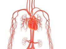 Vasculair systeem stock illustratie