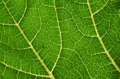 Vascular bundles within a pumpkin leaf. Back-lit leaf. Complex network of vascular bundles (phloem and xylem) of different rank transporting water and Stock Photos
