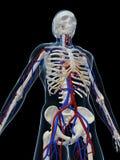 Vascular system Stock Photos