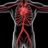 Vascular system Royalty Free Stock Images