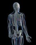Vascular system. 3d rendered illustration - vascular system Royalty Free Stock Image