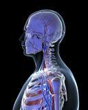 Vascular system. 3d rendered illustration - vascular system Stock Images