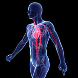 The vascular system Royalty Free Stock Photography