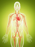 The vascular system. 3d rendered illustration of the vascular system Royalty Free Stock Images