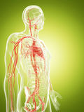 The vascular system Stock Photos