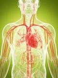 The vascular system. 3d rendered illustration of the vascular system Stock Image
