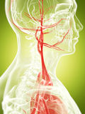 The vascular system Royalty Free Stock Images