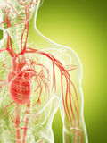 The vascular system. 3d rendered illustration of the vascular system Stock Photo