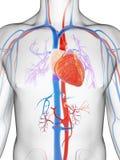 Vascular system. 3d rendered illustration of the male vascular system Stock Photography