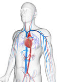 Vascular system. 3d rendered illustration of the male vascular system Royalty Free Stock Photos
