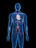 The vascular system Stock Photo