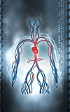 Vascular system Stock Image