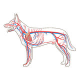 Vascular system of the dog vector illustration Stock Images