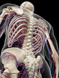 The vascular system. Medically accurate illustration of the vascular system Stock Photos