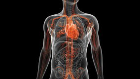 The vascular system. Video animation showing the vascular system stock footage