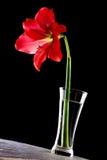 vase à hippeastrum Photos stock