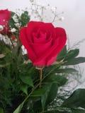 Vase avec la rose rouge dans le jardin dans Storkow photographie stock