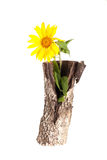 Vase of birch stump with a sunflower isolated on a white backgro Royalty Free Stock Image