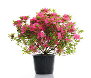 Vase with blossom azalea Stock Images