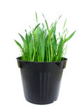 Vase of catnip, full view Royalty Free Stock Photo