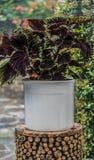 Vase of Coleus plant in white ceramic vase. Brightly coloured, leafy Coleus plant in a white ceramic vase standing on a wooden stool stock photo