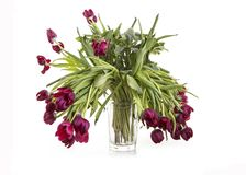 Vase of dieing red tulips Stock Photos
