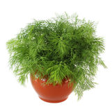 Vase with fennel Stock Images
