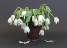 Vase full of droopy and dead flowers. White tulips Stock Photography