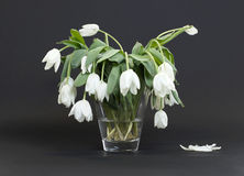 Vase full of droopy and dead flowers. White tulips stock images