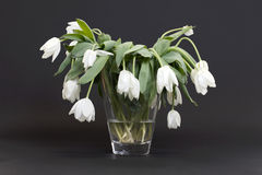 Vase full of droopy and dead flowers. White tulips royalty free stock photography