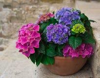 Vase of hydrangea Stock Image