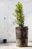 Vase with laurel tree. Grunge vintage background. Royalty Free Stock Photo