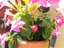 Vase mit Mandevillablumen stockfotos