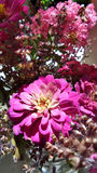 Vase of pink flowers from home garden. Pink Zinnia and Crape Myrtle flowers in ine vase stock images