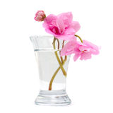 Vase with pink spring flower isolated Royalty Free Stock Photo