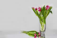 Vase of Pink Tulips Against White Royalty Free Stock Photography