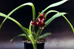 Vase of red  orchid flower. Stock Photos