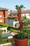 Vase with red tomatoes on the terrace of the apartment Stock Image