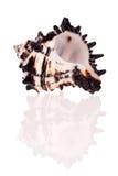 Vase Seashell Stock Image
