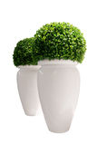 Vasen mit dem Buxus getrennt auf weißem Hintergrund Lizenzfreie Stockfotos