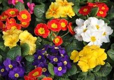 Vases à primevère en vente au flowermarket Photos libres de droits
