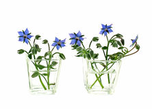 Vases of borage flowers Stock Image
